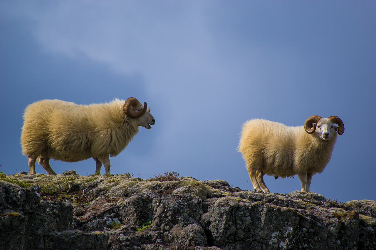 rams horns