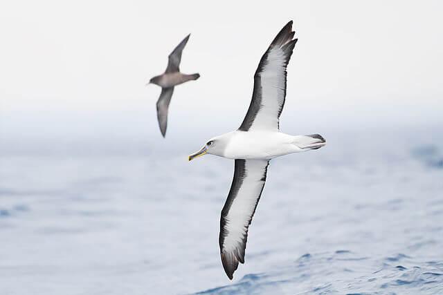Hải Âu (Albatross), thường sinh sống ở khu vực Nam Đại Dương và Bắc Thái Bình Dương. Nguồn: Wikipedia.